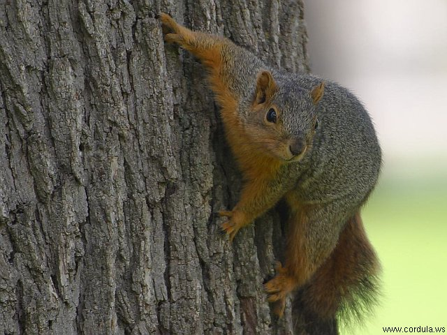 Cordula's Web. PDPHOTO.ORG. A Squirrel Climbing on a Tree.