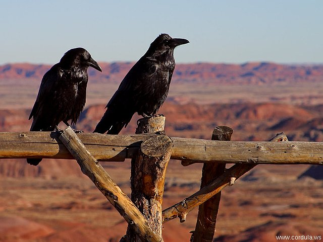 Cordula's Web. PDPHOTO.ORG. Two Ravens in Arizona.