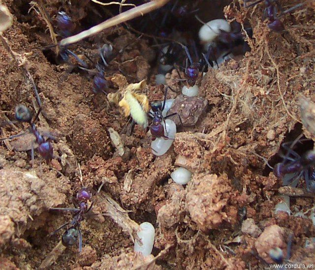 Cordula's Web. Wikicommons. Ants (not termites!) evacuating eggs.
