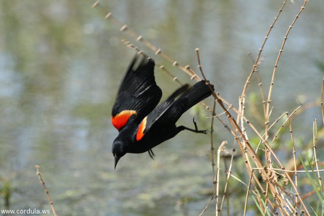 Cordula's Web. Wikicommons. Walter Siegmund, Red-Winged Blackbird.