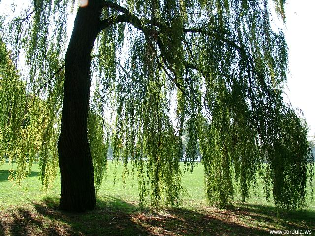 Cordula's Web. Weeping Willow.