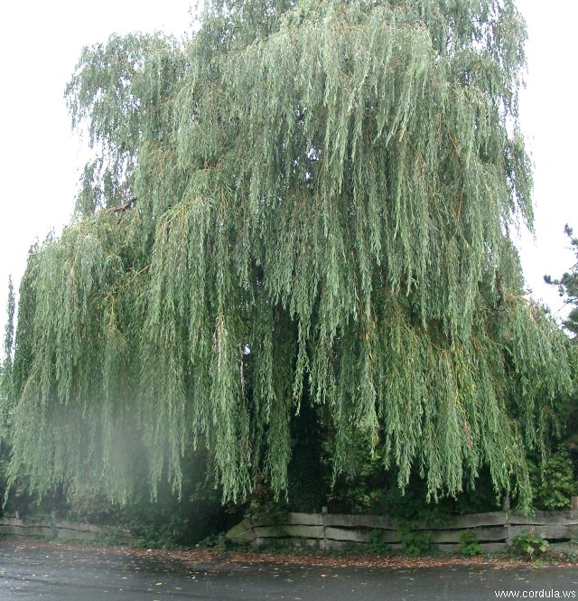 Cordula's Web. A Weeping Willow in the Rain.