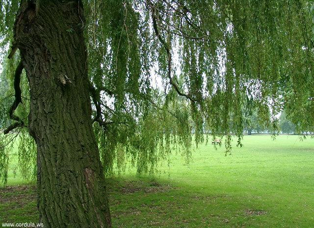 Cordula's Web. Weeping Willow with short branches