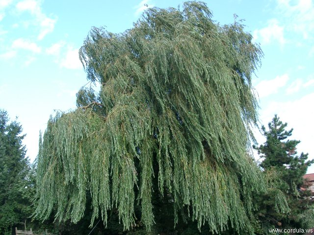 Cordula's Web. Weeping Willow in the Wind.